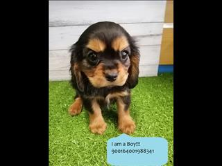 Adorable Cavalier Kings Charles Puppies Ready to Go Home! [@Name value='Noahs Ark Pets in [@Name value='Kings Park Sydney!