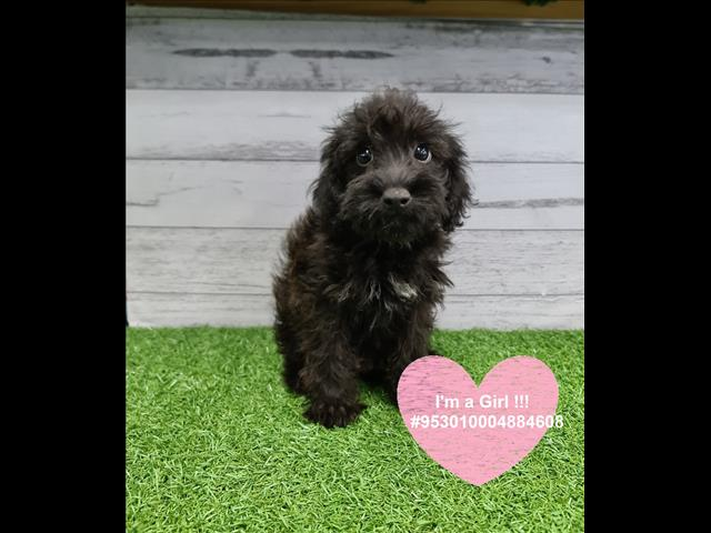 Female Schnoodle (Schnauzer x Poodle) Puppy Instore Ready to go -- Located in our Pet Shop, Sydney