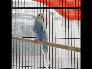Beautiful Blue Female Budgie