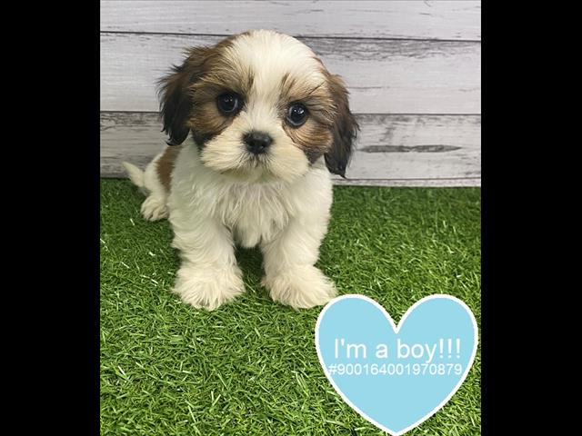 Cavalier x Shihtzu x Lhasa Apso puppy available now! -- Located Kings Park 2148