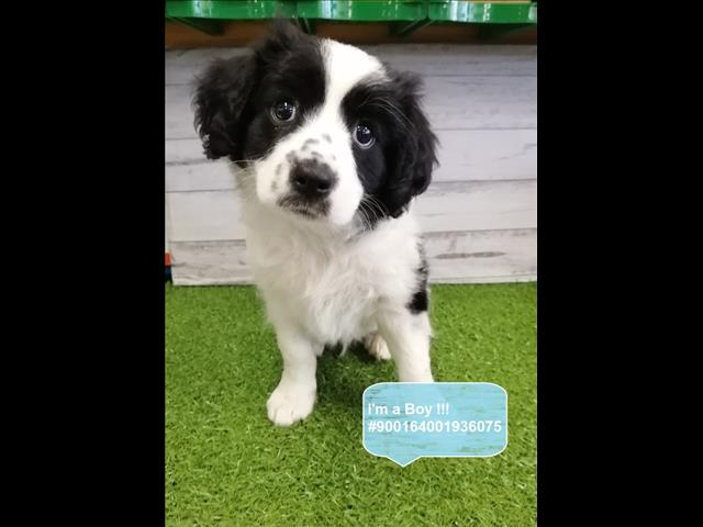 LAST ONE! Borderlier (Border Collie x Cavalier) Puppy -- Located Kings Park, NSW 2147