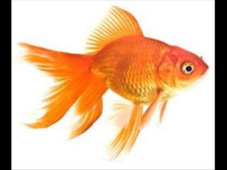Gold Fish - Call Now!