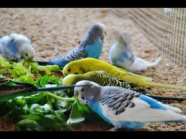 Beautiful Budgies! - Call now