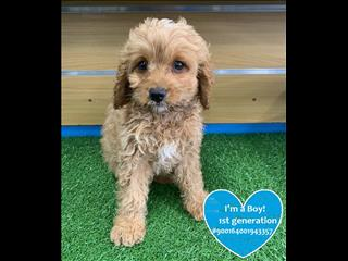 AVAILABLE SOON! Cavoodle Puppies! Located Kings Park NSW 2148
