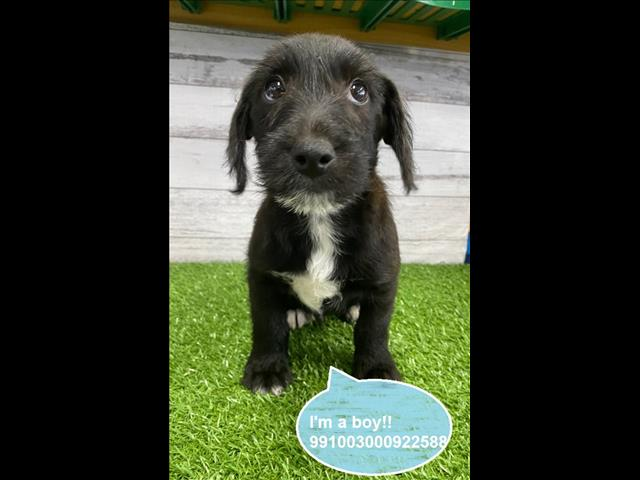 Taking Deposits Now! Jackapoo (Jack Russell x Poodle) Puppies -- Located Kings Park, NSW 2147