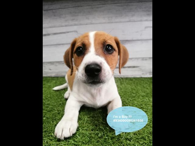 Gorgeous Jack Russell Terrier Puppies Available in Our Pet Store Now!