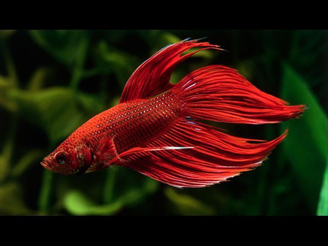 Siamese Fighting Fish & Setups - Call now