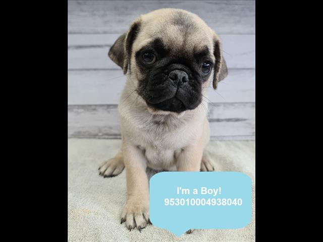New Instore! Pug puppies! Located Kings Park, NSW, 2148