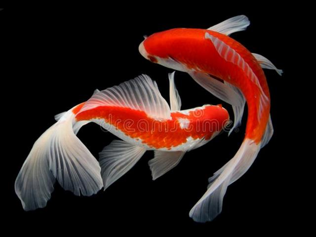 Majestic Koi Fish in Store Now- Call Now! for Sale in Sydney, NSW