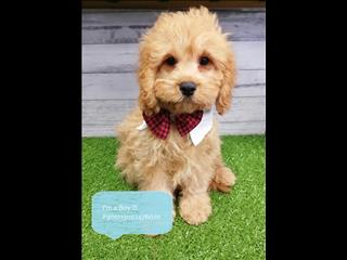 New Instore! Adorable Cavoodle Puppies - Taking Deposits. Located Kings Park, NSW 2148