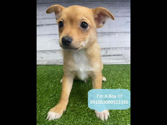 Last Two Adorable Chihuahua x Mini Foxie! Located Kings Park, 2148, NSW
