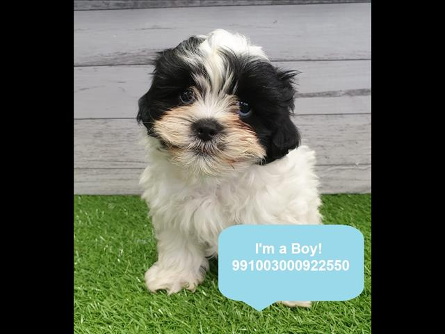 Shoodle Puppies In Store Now! Located Kings Park, NSW, 2148
