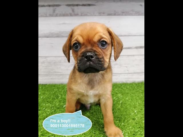Taking Deposits Now! Pugalier (Pug x Cavalier) Puppies -- Located Kings Park, NSW 2147