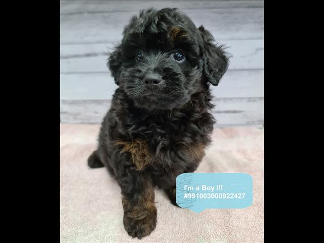 Ready to go! Shmoodle (Shihtzu x Maltese x Poodle) In our Pet Shop Sydney