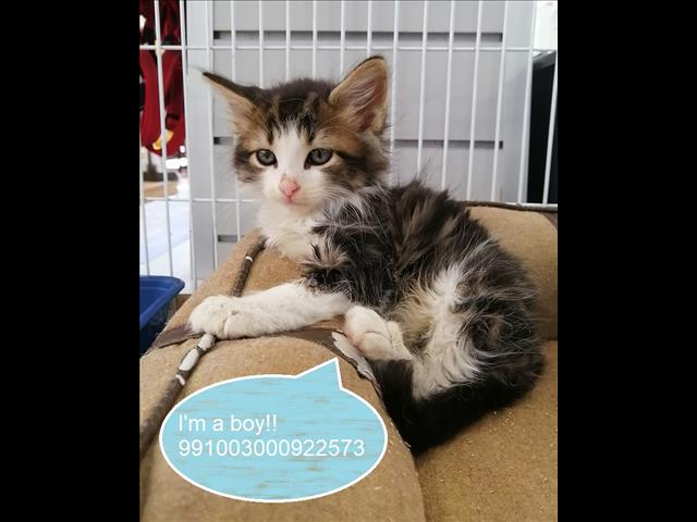 NEW Instore!  Domestic Long Hair Kitten Located Kings Park, NSW 2148