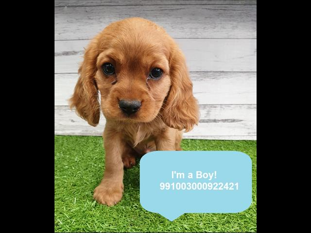Cute Cockalier Puppies in Store Now! Located Kings Park, NSW, 2148