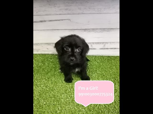 Two Left! Jackapoo (Jack Russell x Poodle) Puppies Instore! Located Kings Park, 2148