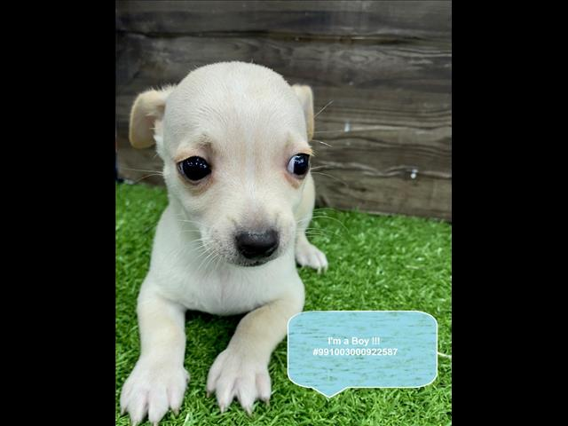 Tiny Chug (Chihuahua x Pug) Puppies Available in Our Pet Shop Sydney Now!