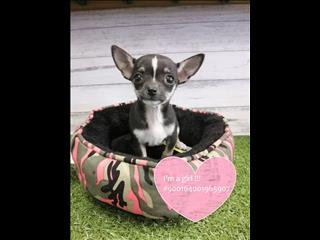 Short Coat Chihuahua Puppies Instore Now! Located Kings Park, NSW 2148
