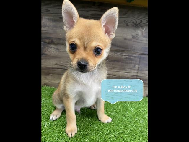 LAST ONE LEFT! Pomchi (pomeranian x Chihuahua) Puppy in Our Pet Shop Sydney Now!