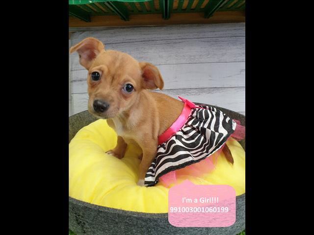 Price Reduced! Chihuahua x Mini Pinscher! Located Kings Park, NSW, 2148
