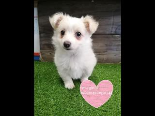 LAST ONE! Female Longhaired Chihuahua Puppies - Located Kings Park, NSW 2148