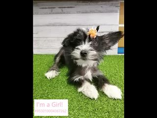 LAST ONE! Chinese Crested puppy! [@Name value='Noahs Ark Pets in Kings Park NSW!