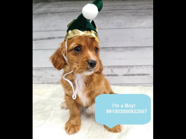 New! Cute Cavoodle Puppy!- Located Kings Park, NSW, 2148 for sale in Sydney, NSW