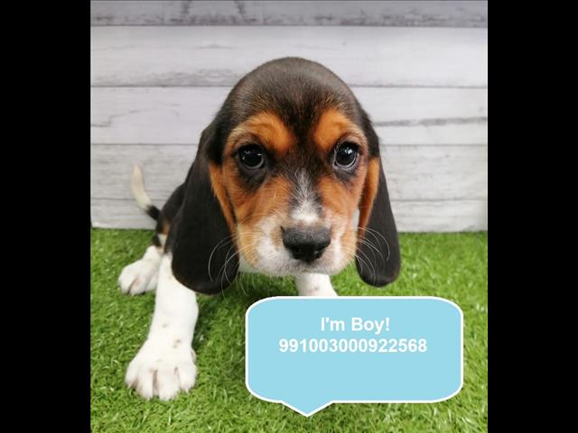 New Instore! Beaglier Puppies in Store Now! located Kings Park, NSW, 2148