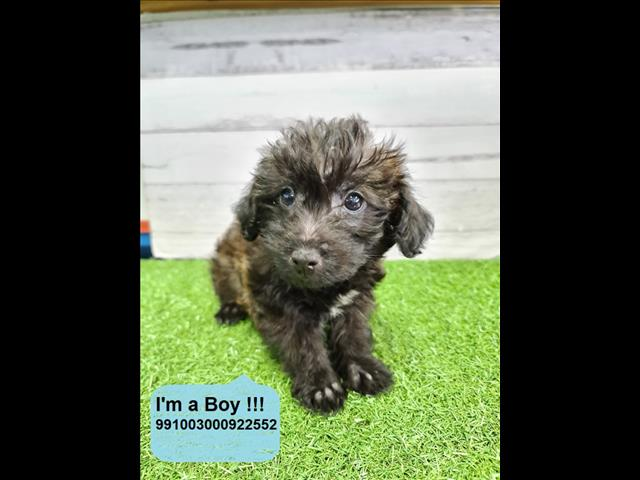 Last One Left! Tiny Jackapoo (Jack Russell x Poodle) Puppies Available in Our Pet Shop Now!