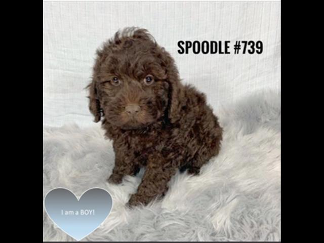 Spoodle / Cockerpoo Puppies (English Cocker X Toy Poodle) - Rare Chocolate Boy. I am in store now.