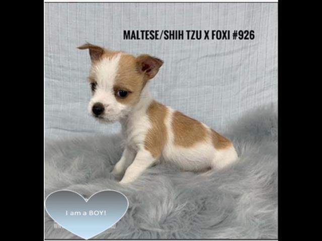 Dogs New Malteseshih Tzu X Mini Foxi Boy I Am In Store Ready