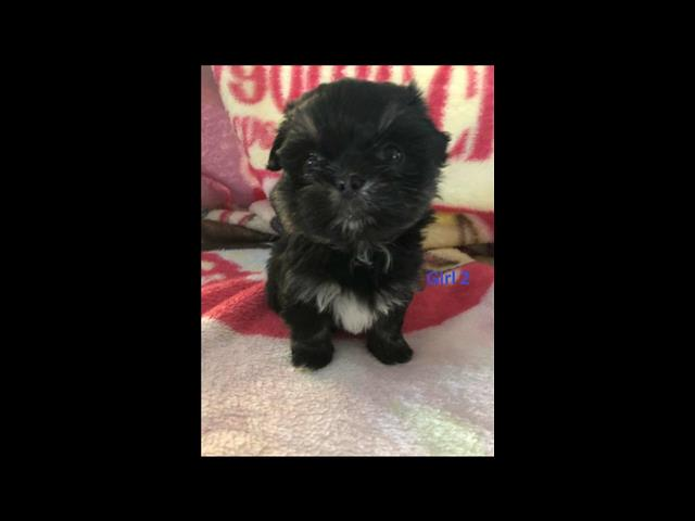 Shih Tzu X Maltese (2nd Generation) - PUPS ARE NOW SOLD.  Arriving into store 8 August