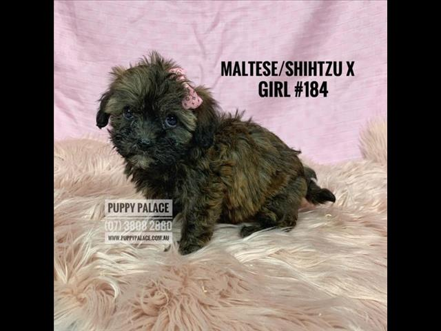 Maltese/Shih Tzu X Toy Cavoodle Puppies -   Girls & Boy. In [@Name value='Puppy Palace Pet store now.