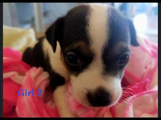 Mini Foxi X Jack Russell Puppies - Boys & Girl. We are arriving into store 5 December.