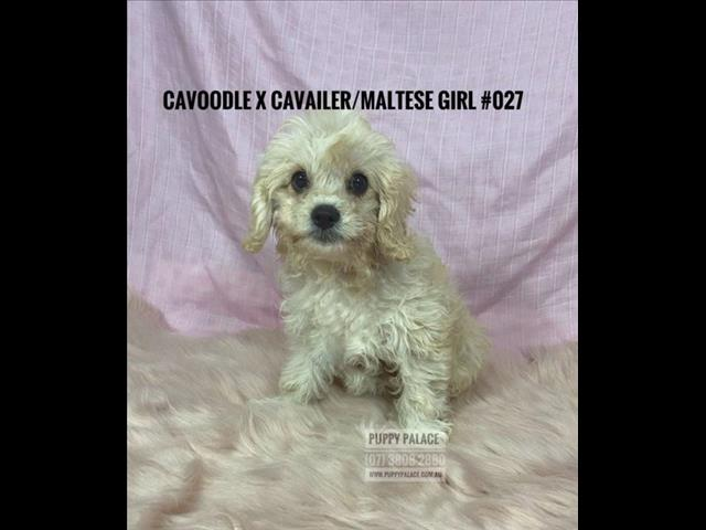Toy Cavoodle X Maltalier (Maltese/Cavalier) - Boys & Girls. In store & ready for their furever home.