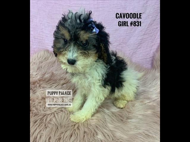 Toy Cavoodle (Cavalier X Toy Poodle) 2nd Generation - Boys & Girl. In store & ready to go home now.