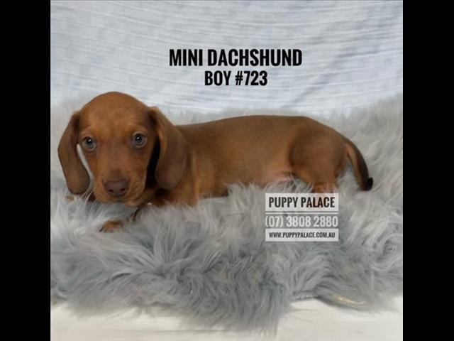 Mini Dachshund Puppies - Red Boys. In store now & ready to go home.