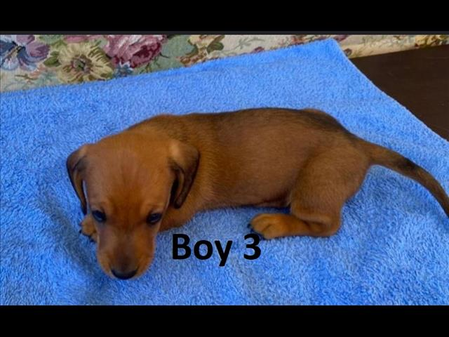 Mini Dachshund Puppies - Red Boys & Chocolate Girl.  Arriving at Puppy Palace Pet Shop on 20 May.