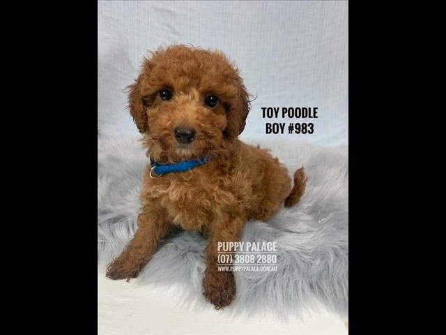 Toy Poodle Puppies - Red Boys. Parents are DNA tested and Clear. At [@Name value='Puppy Palace Pet Shop