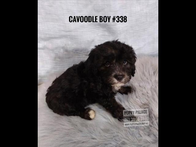 Toy Cavoodle (Cavalier X Toy Poodle) - Boys & Girl. In store & ready to go home now.