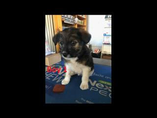 Maltese/Shih Tzu X Jack Russell  Puppies- 2 Boys. Arriving on 8th August.