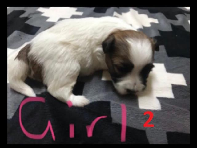 Shih Tzu X Maltese Puppies - We are arriving into store & Available to go home on 29 October