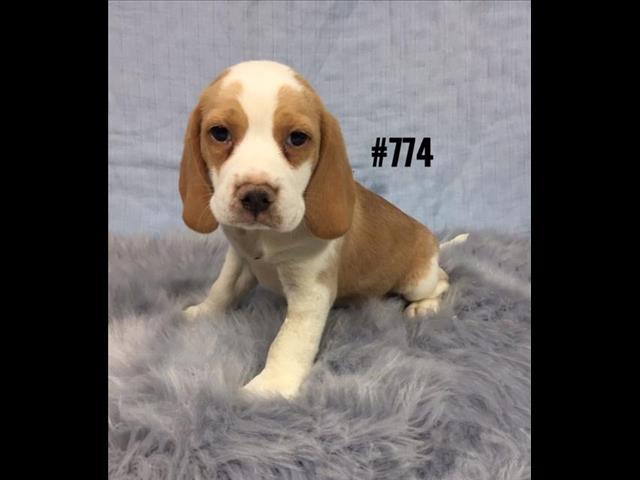Beaglier (Beagle X Cavalier) Puppies - Boy. At Puppy Palace, Underwood