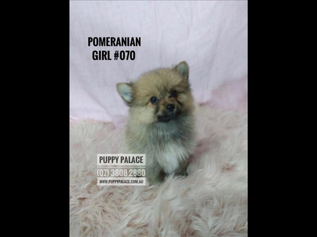 Pomeranian Puppy - Girls & Boy. In store now at Puppy Palace & ready to go to their furever home.