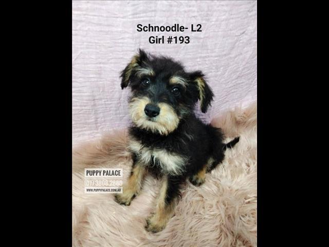 Schnoodle - (Mini Schnauzer X Toy Poodle) Puppies - Boy & Girls. Litter 2.