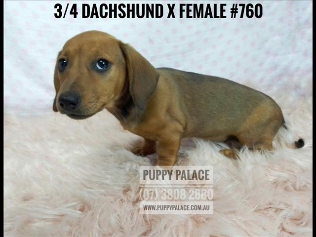 3/4 Mini Dachshund Puppies - Girls - We are now in store and ready to go to our furever homes.
