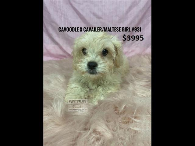 Toy Cavoodle  X  Puppies - Girls.  In store at Puppy Palace Pet shop.  WE HAVE HAD our 2nd VACCINATION, VALUE $100