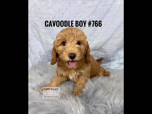 Toy Cavoodle (2nd Generation) - Red Boy. I am in store now & ready to go to my furever home.