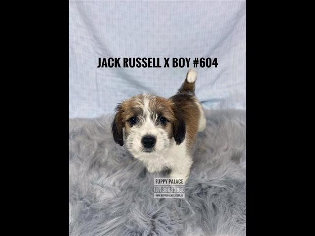 Jack Russell X Puppies - Girls & Boy. We are in store and available to go home.